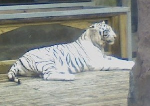 White Tiger at Barefoot Landing