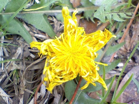 Star-Shaped Dandelion