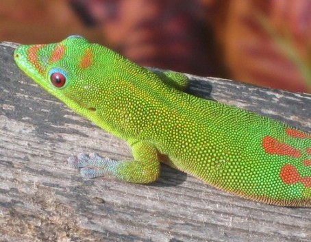 Gecko in Hawaii