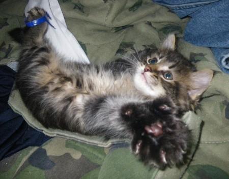 Maine Coon Kitten Paw
