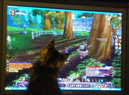 Maine Coon kitten likes playing WoW.