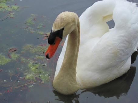 Myrtle Beach Swan