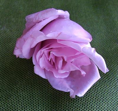 Blue Girl Rose